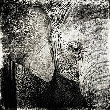 Elephant bw by Izabela Kaminska