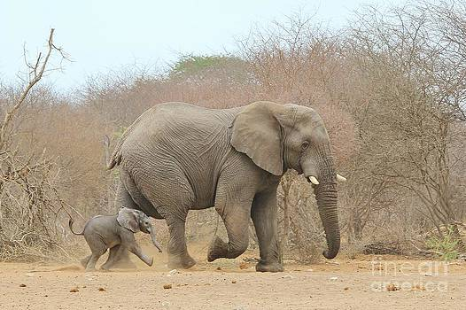 Hermanus A Alberts - Elephant calf and dad