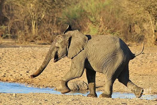 Hermanus A Alberts - Elephant calf run