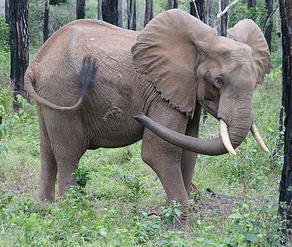 Elephant by Olaf Christian