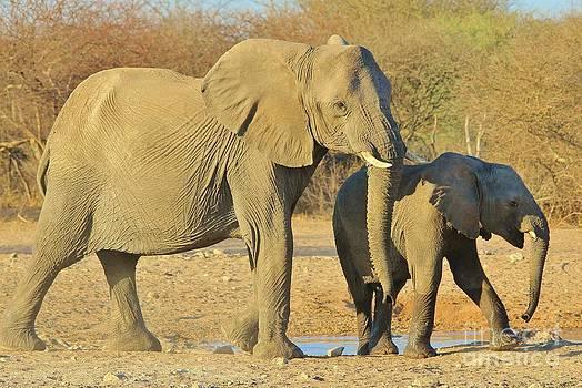 Hermanus A Alberts - Elephant Cow Motherly Instinct