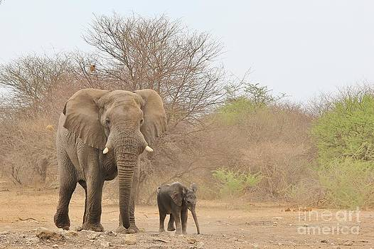 Hermanus A Alberts - Elephant Dad and Baby