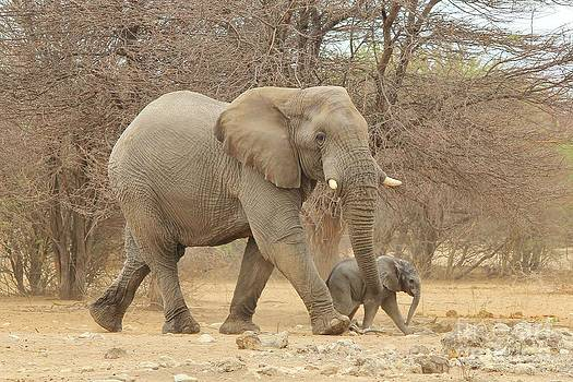 Hermanus A Alberts - Elephant Dad and Calf