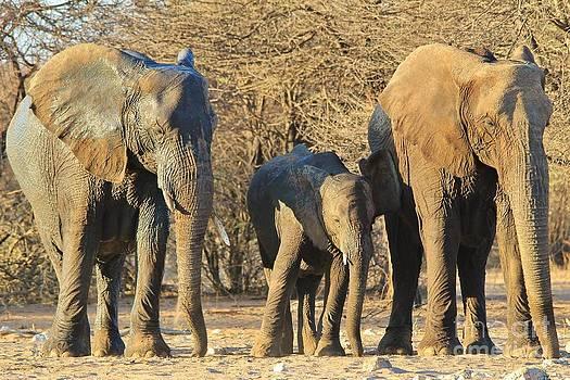 Hermanus A Alberts - Elephant Family