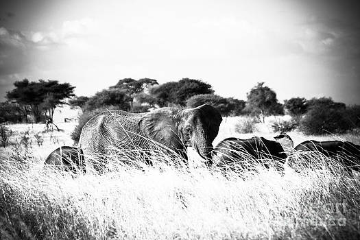 Darcy Michaelchuk - Elephant Family in the Grass BW