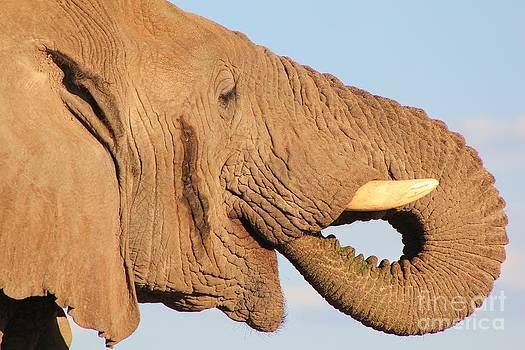 Hermanus A Alberts - Elephant Icon