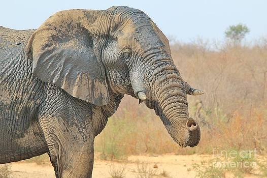 Hermanus A Alberts - Elephant Mud Bull
