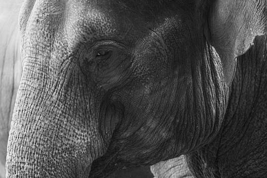 Elephant Portrait by Gillian Dernie