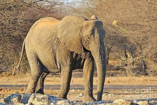 Hermanus A Alberts - Elephant Tusk-less Cow