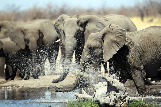 Elephants Bath by Gordon Donovan