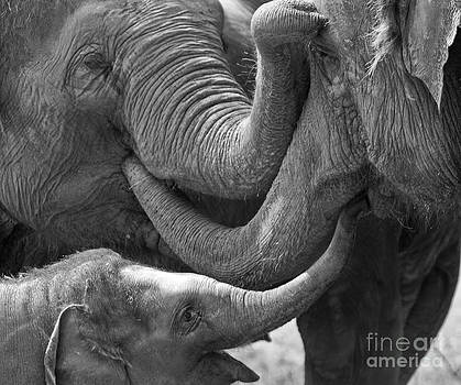 Elephants Tender Touch by Bel Menpes