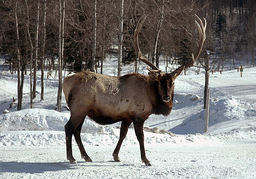 Andre Paquin - Elk
