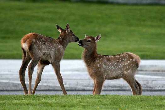 Elk Cousins by John Rockwood