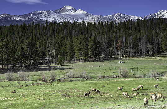 Elk Cows in Beaver Meadows by Tom Wilbert