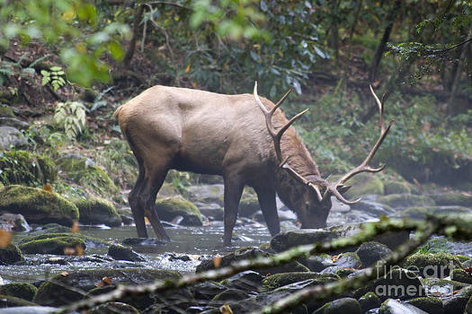 Jill Lang - Elk Drinking Water from a Stream