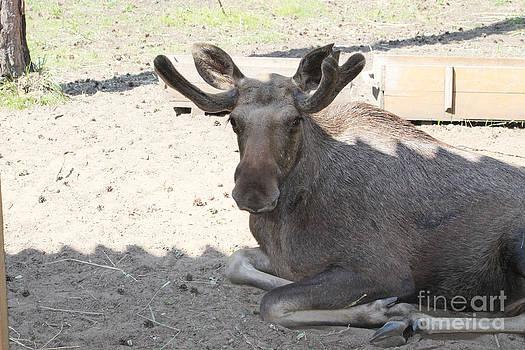 Elk by Evgeny Pisarev