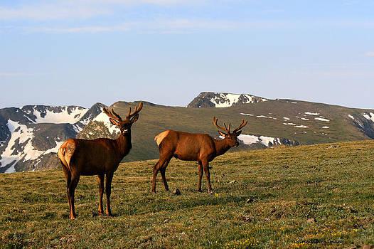 Elk feeding by Rebecca Adams