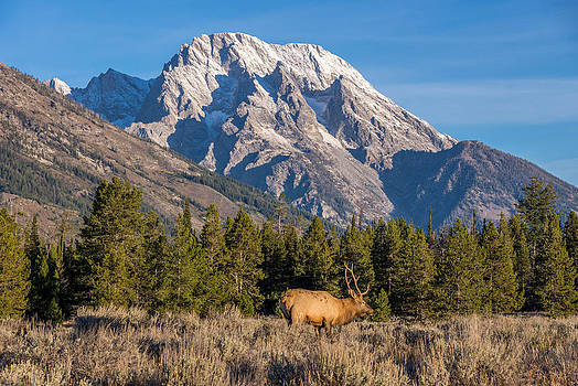 Randy Straka - Elk Grand Teton National Park