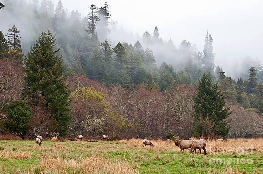 Jamie Pham - Elk in Fog - Herd of Roosevelt Elk Cervus canadensis roosevelti grazing in Elk Meadow.