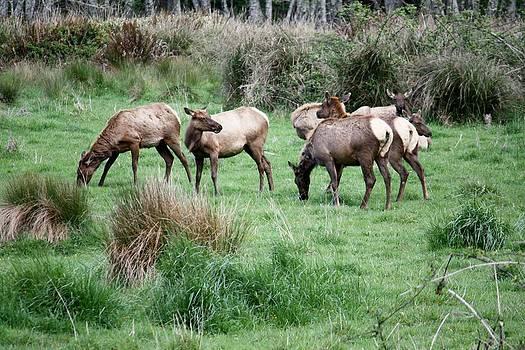 Elk in Meadow by Mark Cheney