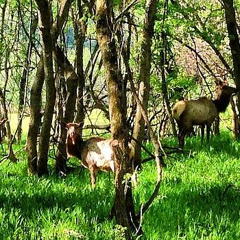 Elk In Ponca, Ar by Nadine Rippelmeyer