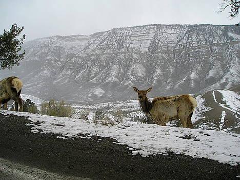Elk in the Park by Johanna Elik