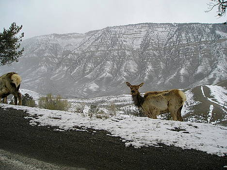 Elk in winter by Johanna Elik