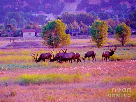 Elk Visit by Sunset by Jacquelyn Roberts