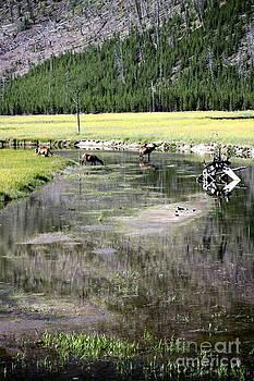 Sophie Vigneault - Elks in Yellowstone