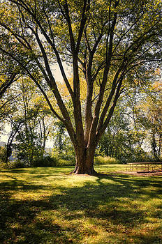 Elm in the Sunshine by Diana Boyd