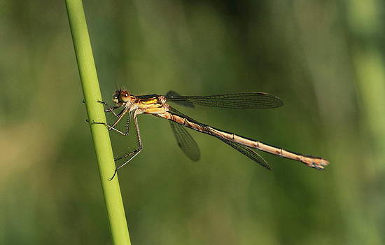 Emerald Damselfly by Peter Skelton