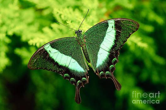 Oscar Gutierrez - Emerald swallowtail butterfly