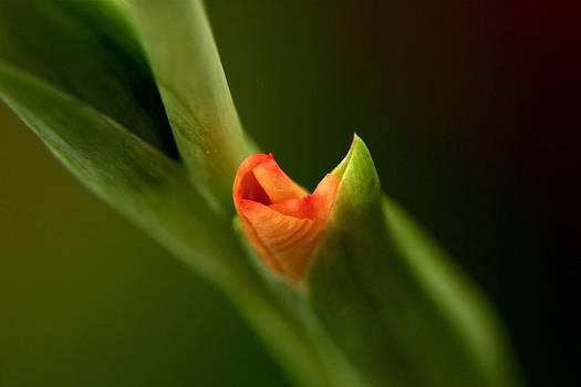 Ramabhadran Thirupattur - Emerging Beauty - Gladiolus