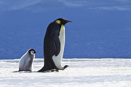 Jean-Louis Klein and Marie-Luce Hubert - Emperor Penguin And Chick