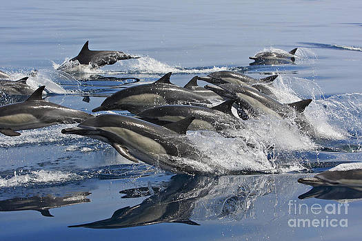 Energetic Group Of Common Dolphins Leaping Out Of Water All At Once by Brandon Cole
