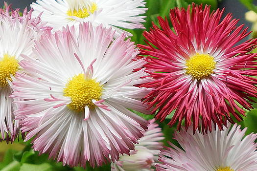 Dawn Hagar - English Daisy