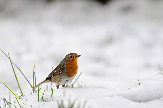English Robin by Ivelin Donchev