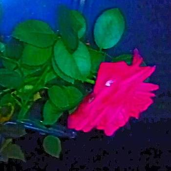 Genevieve Esson - English Rose