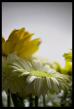 TNT Images - Enlightened Daisy - 310041