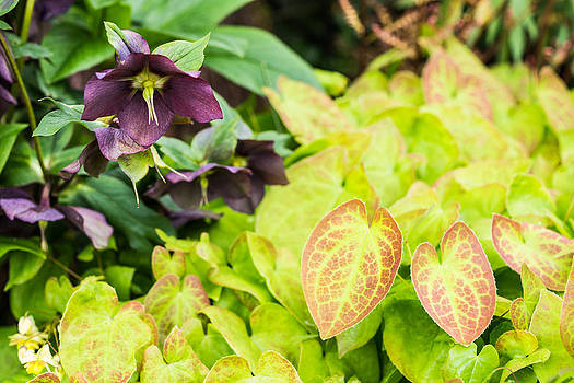 Priya Ghose - Epimedium And Hellebore