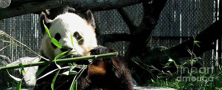 Er Shun. The Cutie Female Giant Panda at Toronto Zoo by Ausra Huntington nee Paulauskaite