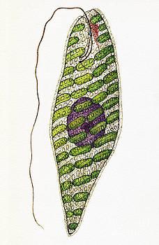 De Agostini Picture Library - Euglena Splendens Euglenophyta Algae