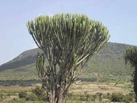 Euphobia Tree In The Maasai Mara Animal Park In Kenya by Samuel Ondora