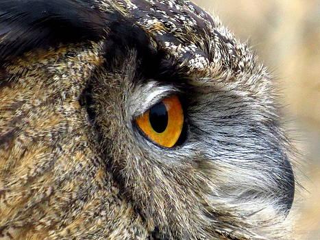 Eurasian eagle-owl by David Bouchard