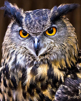 Eurasian Eagle-Owl by Robert L Jackson
