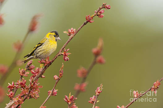 Eurasian Siskin On A Cherry Tree by Kirk Norbury