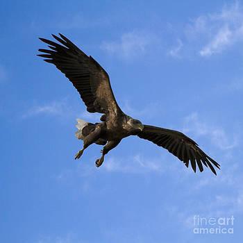 Heiko Koehrer-Wagner - European Flying Sea Eagle