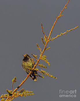 European Starling by Jean-Luc Baron