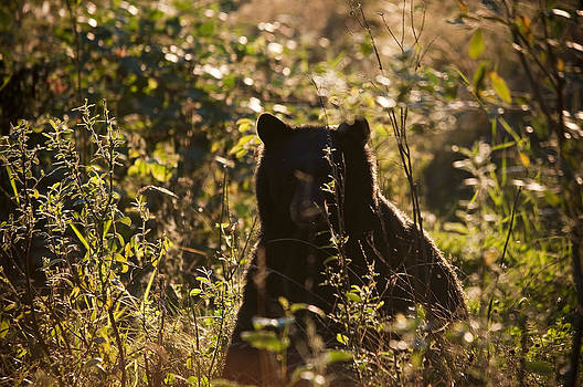 Evening bear by Martin Cooper