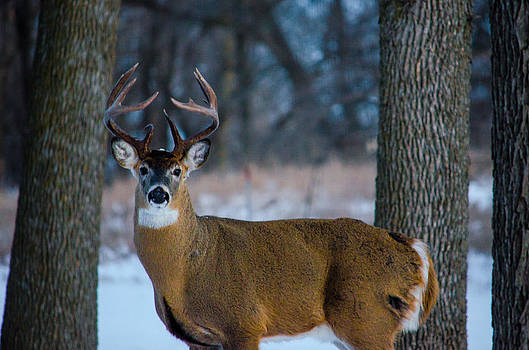 Evening Buck by Kelly Anderson